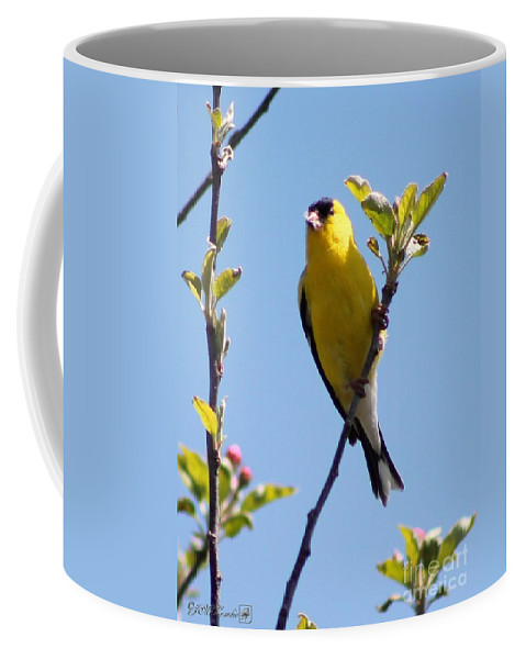 American Goldfinch Coffee Mug featuring the photograph Male American Goldfinch Gathering Feathers For The Nest by J McCombie