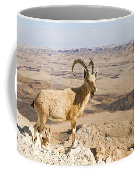 Animal Coffee Mug featuring the photograph Male Nubian Ibex Capra Ibex Nubiana 1 by Eyal Bartov