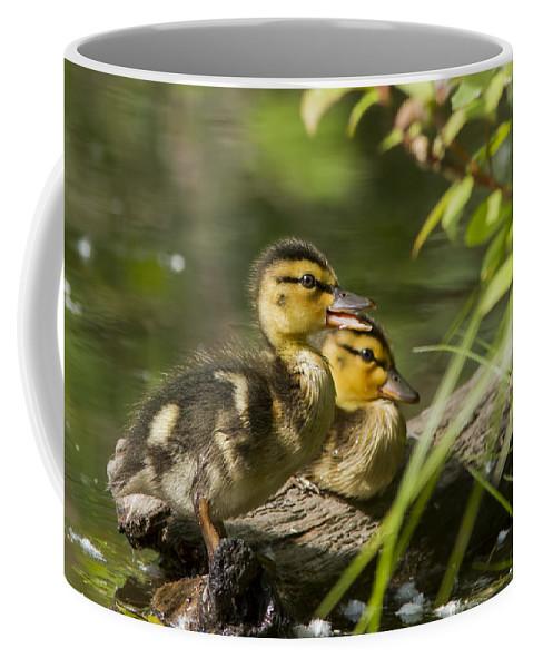 Babies Coffee Mug featuring the photograph Mallard Babies by Mircea Costina Photography