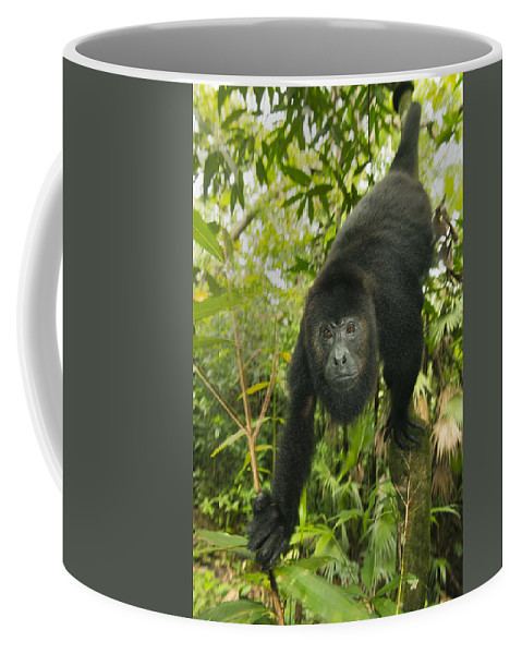 Kevin Schafer Coffee Mug featuring the photograph Mexican Black Howler Monkey Belize by Kevin Schafer