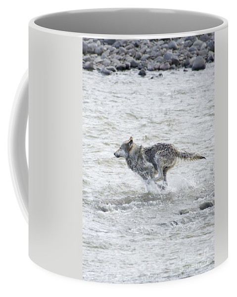Gray Wolf Coffee Mug featuring the photograph Middle Running Iphone Case by Deby Dixon