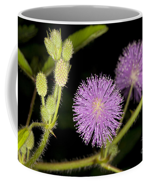 Mimosa Pudica Coffee Mug featuring the photograph Mimosa Pudica by Anthony Totah