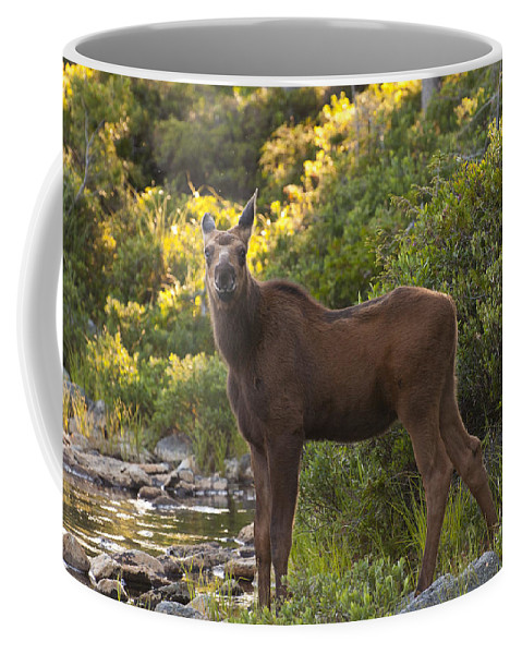 Moose Coffee Mug featuring the photograph Moose Baby Sniffing Morning Air by Glenn Gordon