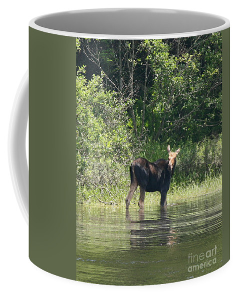 Moose Coffee Mug featuring the photograph New Hampshire Grazing Cow Moose by Neal Eslinger