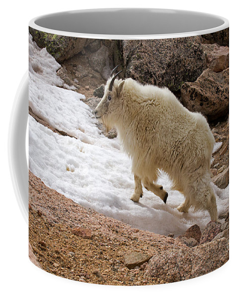Arapaho National Forest Coffee Mug featuring the photograph Mountain Goat On Snowfield On Mount Evans by Fred Stearns