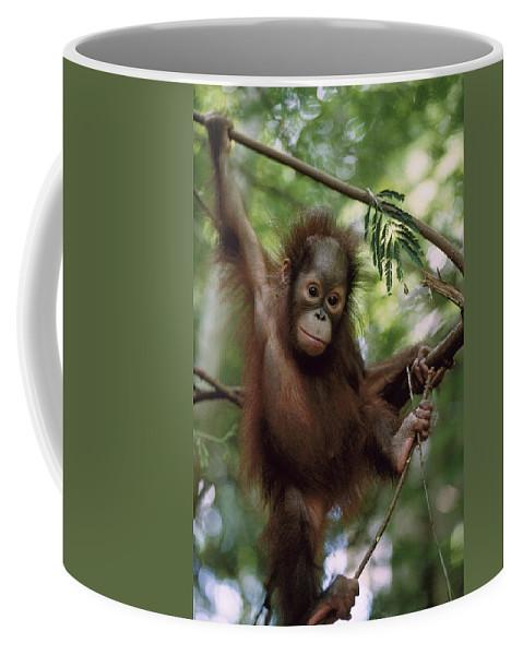 Feb0514 Coffee Mug featuring the photograph Orangutan Infant Hanging Borneo by Konrad Wothe