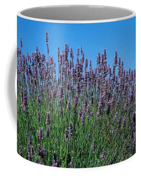 No People; Horizontal; Outdoors; Day; Close-up; Growth; Non Urban Scene; Field; Scenics; Beauty In Nature; Abundance; Fragility; Clear Sky; Washington; Organic; Lavender; Usa; Blossom; Blue; Purple Coffee Mug featuring the photograph Organic Lavender by Anonymous