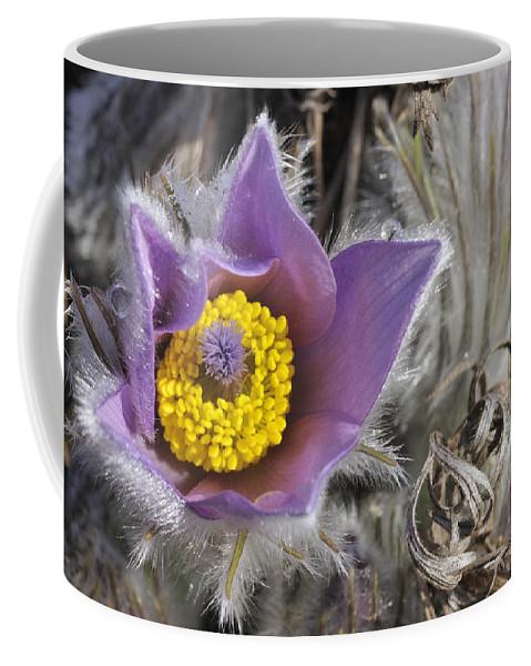 Pasque Flower Coffee Mug featuring the photograph Pasque Flower Pulsatilla Halleri by Matthias Hauser