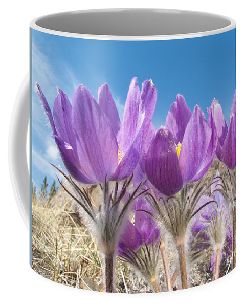 Anemone Coffee Mug featuring the photograph Pasque Flowers Close-up In Natural Environment by Stephan Pietzko