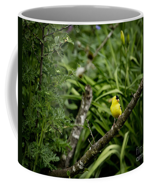 American Goldfinch Coffee Mug featuring the photograph Perching by Belinda Greb