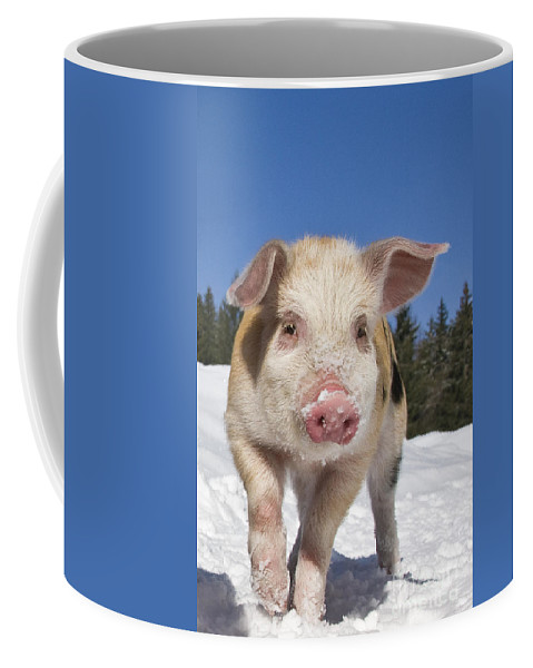 Piglet Coffee Mug featuring the photograph Piglet Walking In The Snow by Jean-Louis Klein and Marie-Luce Hubert