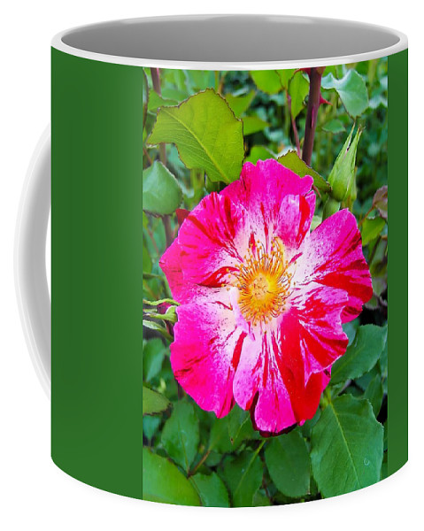 Pink And Red Striped Rose Coffee Mug featuring the photograph Pink And Red Striped Rose by Cynthia Woods