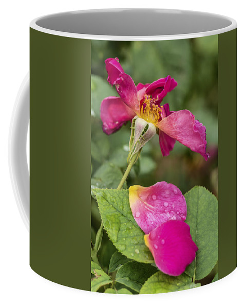 Rose Coffee Mug featuring the photograph Pink Rose And Its Petals by Vishwanath Bhat