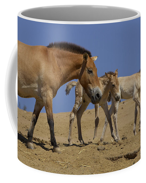 Feb0514 Coffee Mug featuring the photograph Przewalskis Horse With Two Foals by San Diego Zoo