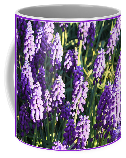 Grape Hyacinth Coffee Mug featuring the photograph Purple Grape Hyacinth by Carol Groenen