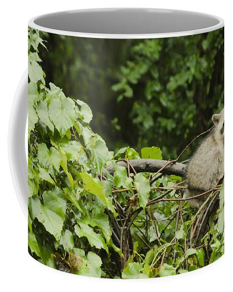 Raccoon Coffee Mug featuring the photograph Raccoon Out On A Limb by Deb Breton