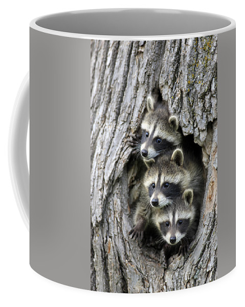 Flpa Coffee Mug featuring the photograph Raccoon Trio At Den Minnesota by Jurgen and Christine Sohns