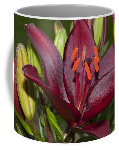 Lilium Coffee Mug featuring the photograph Red Lily 2 by Steve Purnell