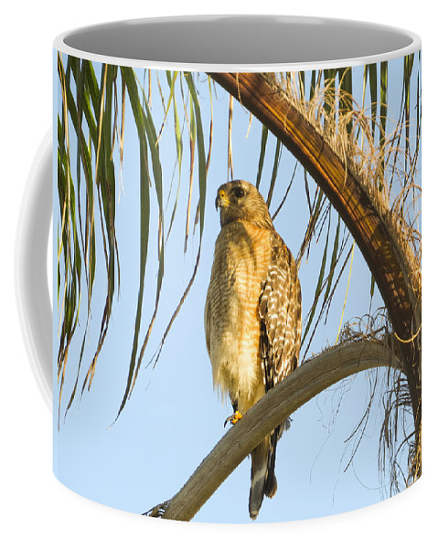 Red-shouldered Hawk Coffee Mug featuring the photograph Red-shouldered Hawk On The Palm Tree by Zina Stromberg