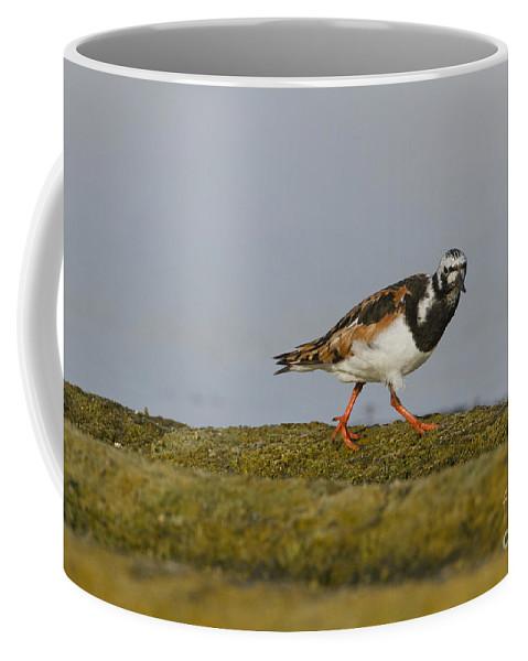 Sea Bird Coffee Mug featuring the photograph Ruddy Turnstone Arenaria Interpres by Eyal Bartov