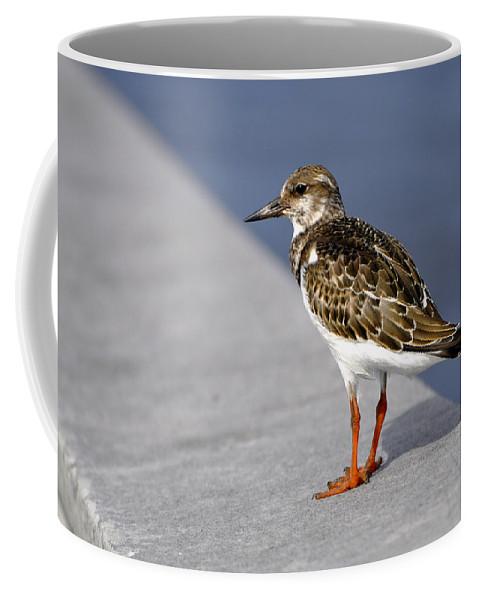 Ruddy Coffee Mug featuring the photograph Ruddy Turnstone Bird Arenaria Interpres Florida Usa by Sally Rockefeller