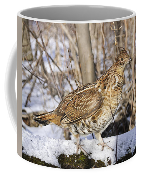 Ruffed Grouse Coffee Mug featuring the photograph Ruffed Grouse On Snowy Log by Timothy Flanigan