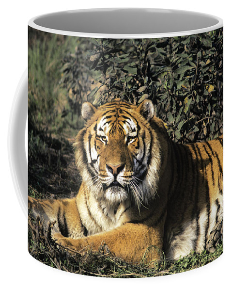 Siberina Tiger Coffee Mug featuring the photograph Siberian Tiger Endangered Species Wildlife Rescue by Dave Welling