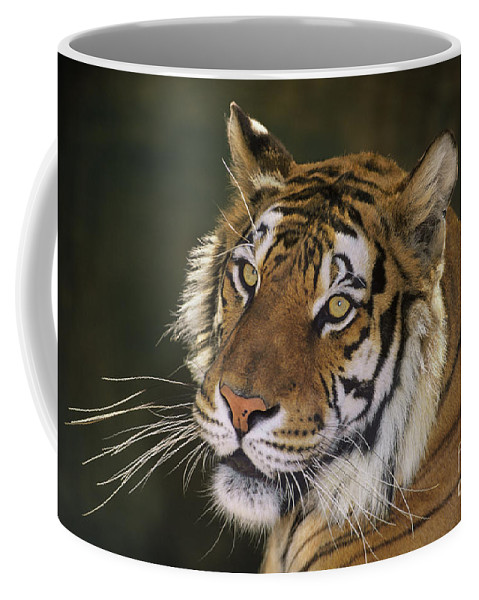 Siberian Tiger Coffee Mug featuring the photograph Siberian Tiger Portrait Endangered Species Wildlife Rescue by Dave Welling
