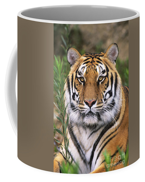 Siberian Tiger Coffee Mug featuring the photograph Siberian Tiger Staring Endangered Species Wildlife Rescue by Dave Welling