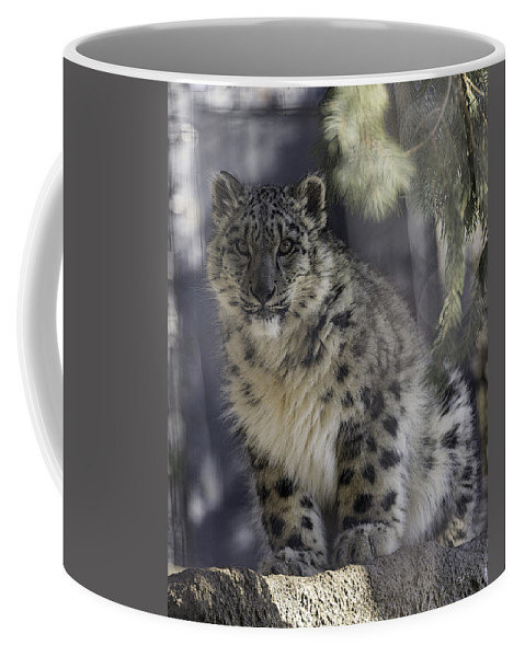 Snow Leopard Coffee Mug featuring the photograph Snow Leopard 1 by Everet Regal