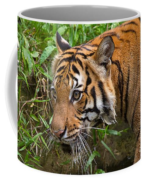 Animal Coffee Mug featuring the photograph Sumatran Tiger by Louise Heusinkveld