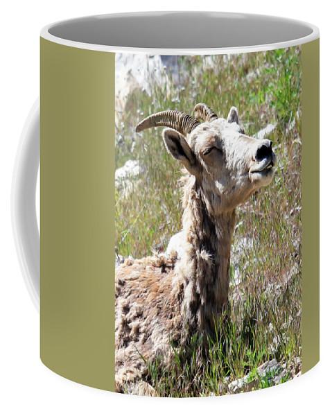Bighorn Sheep Coffee Mug featuring the photograph Sunbathing Mountain Sheep by Athena Mckinzie
