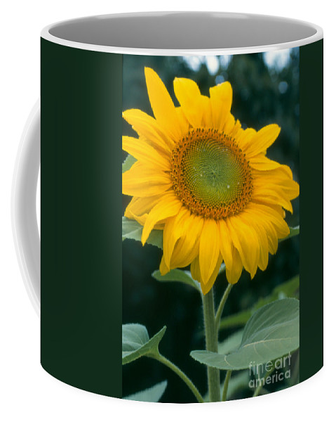 Flower Coffee Mug featuring the photograph Sunflower In Seattle by Heather Kirk