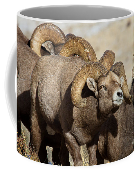 Bighorn Sheep Coffee Mug featuring the photograph The Pied Piper by Jim Garrison