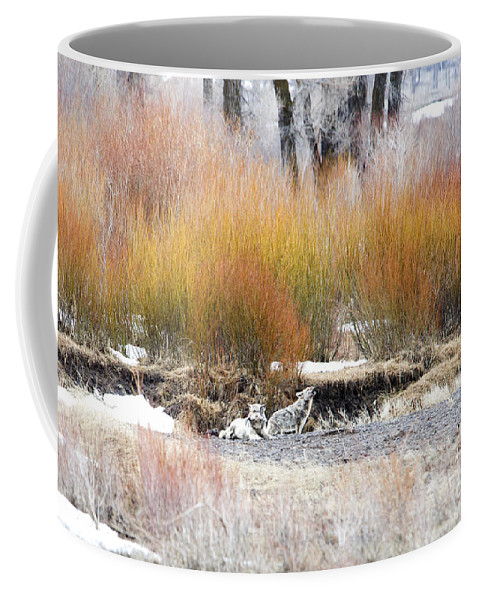 Gray Wolf Coffee Mug featuring the photograph The Wolf And The Coyote by Deby Dixon