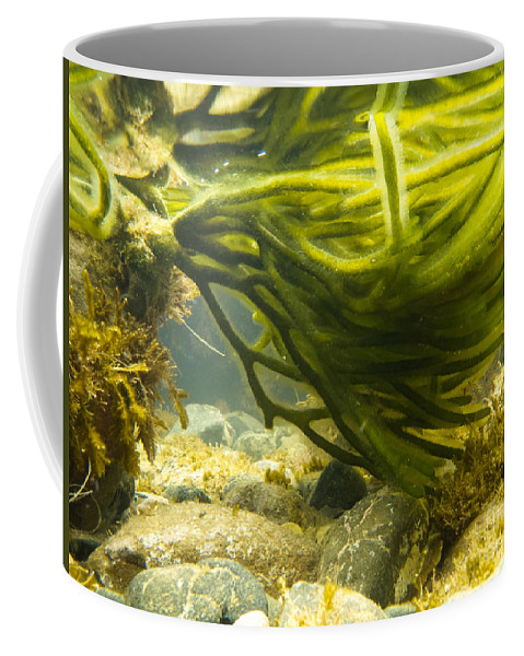 Algae Coffee Mug featuring the photograph Underwater Shot Of Green Seaweed Attached To Rock by Stephan Pietzko