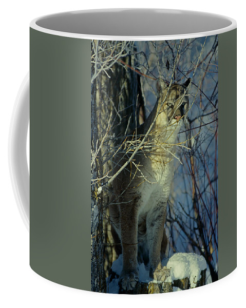 Cougar Coffee Mug featuring the photograph Watchful by Eric Albright