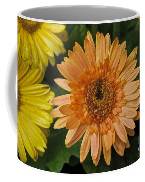 Yellow Coffee Mug featuring the photograph Yellow And Peach Daisy by William Norton