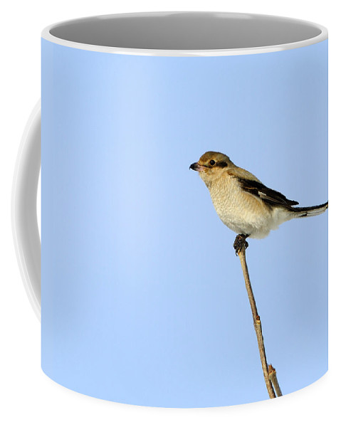 Great Grey Shrike Coffee Mug featuring the photograph Young Northern Shrike by Tony Beck