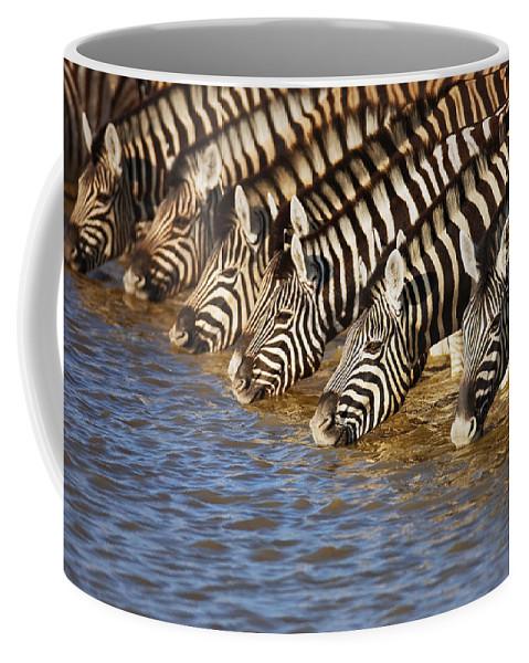 Wild Coffee Mug featuring the photograph Zebras drinking by Johan Swanepoel