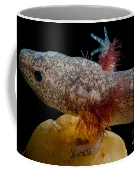 Troglobitic Coffee Mug featuring the photograph Cascades Caverns Salamander by Dant� Fenolio
