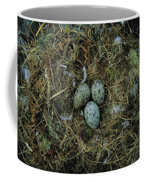 North America Coffee Mug featuring the photograph Glaucous-winged Gull Nest With Three by Joel Sartore