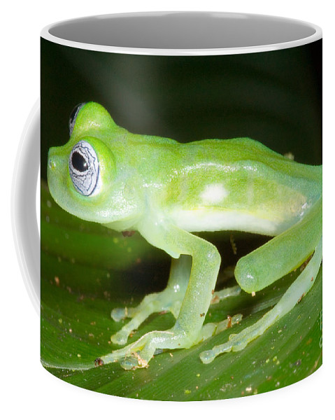 Nature Coffee Mug featuring the photograph Limon Giant Glass Frog by Dante Fenolio