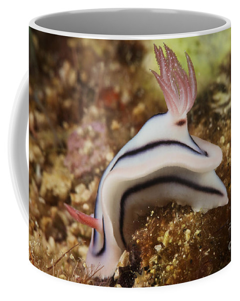 Chromodoris Lochi Coffee Mug featuring the photograph Nudibranch Feeding On The Reef, Fiji by Terry Moore