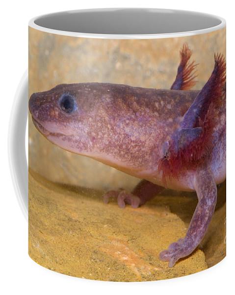 Gyrinophilus Porphyriticus Coffee Mug featuring the photograph Spring Salamander by Dante Fenolio