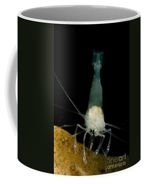 Palaemonetes Antrorum Coffee Mug featuring the photograph Texas Cave Shrimp by Dant� Fenolio