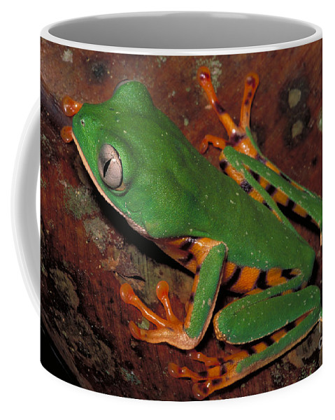Horizontal Coffee Mug featuring the photograph Tiger-striped Monkey Frog by Dante Fenolio