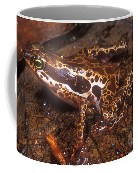 Harlequin Frog Coffee Mug featuring the photograph Harlequin Frog by Dante Fenolio
