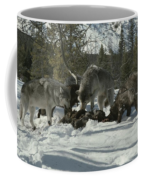 Subject Coffee Mug featuring the photograph A Pack Of Gray Wolves, Canis Lupus by Jim And Jamie Dutcher