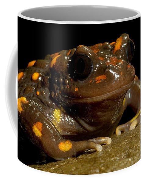 Telmatobufo Venustus Coffee Mug featuring the photograph Chilean Mountains False Toad by Dant� Fenolio
